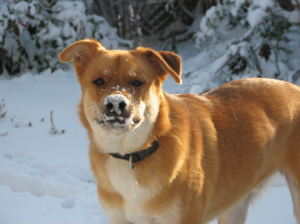 Theo with a snowy nose