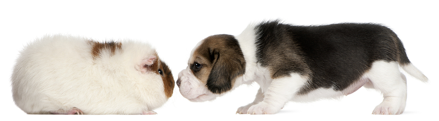 Guinea Pig and Puppy